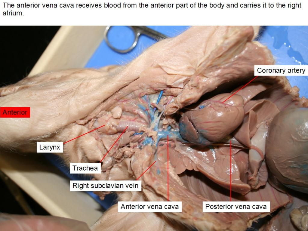 The anterior vena cava receives blood from the anterior part of the body and carries it to the right atrium.