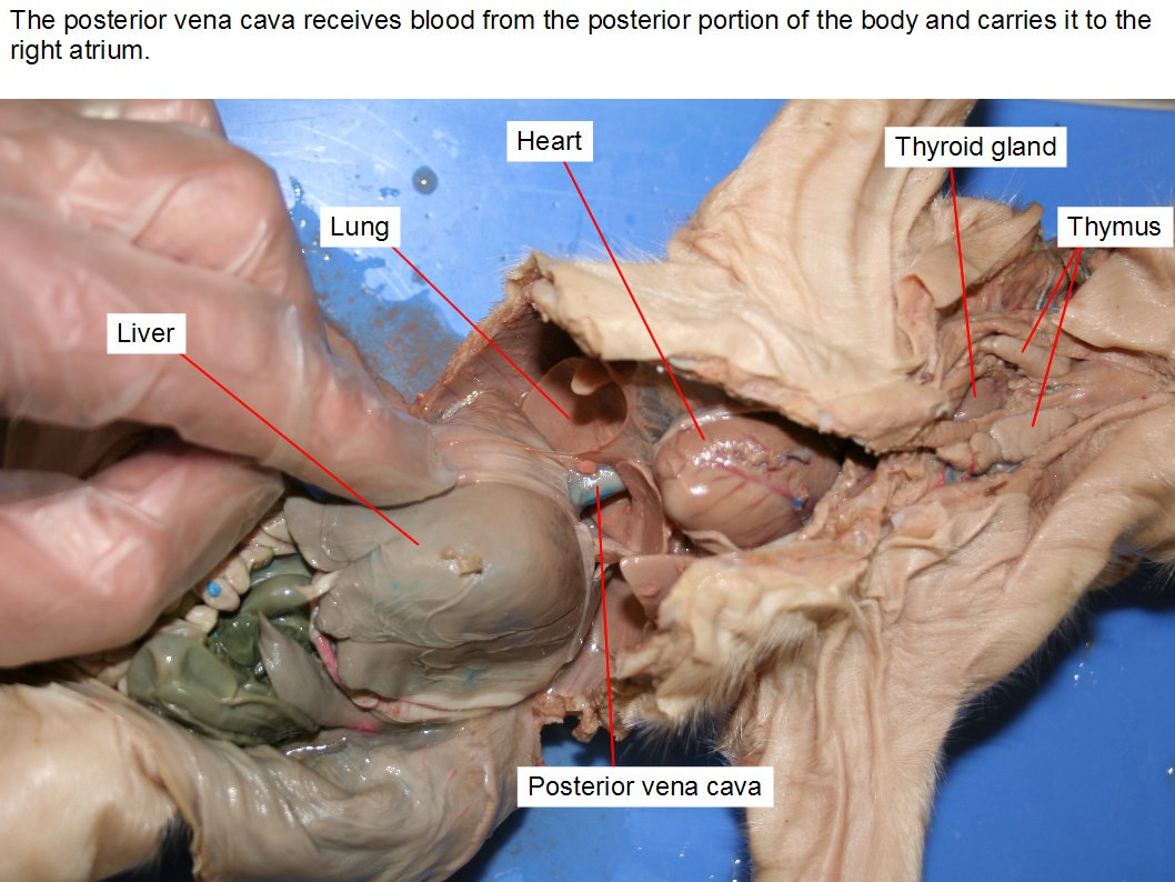 Pyloric Valve Fetal Pig Digestive System Diagram Search For Wiring