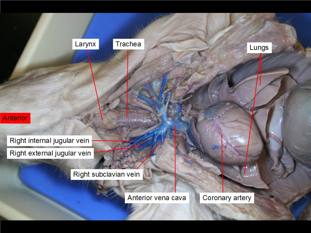 Heart On Pig Diagram Subclavian Veins - Block And Schematic Diagrams •