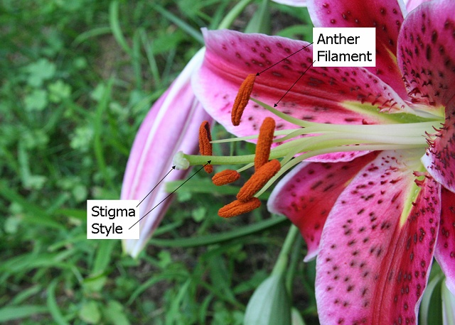 Photograph of a lily. The anther, filament, stigma, and style are labeled. There are several filaments all surrounding the style, which is thicker than the filaments. The anthers produce pollen and form a T on top of the filaments. The stigma sits atop the style.