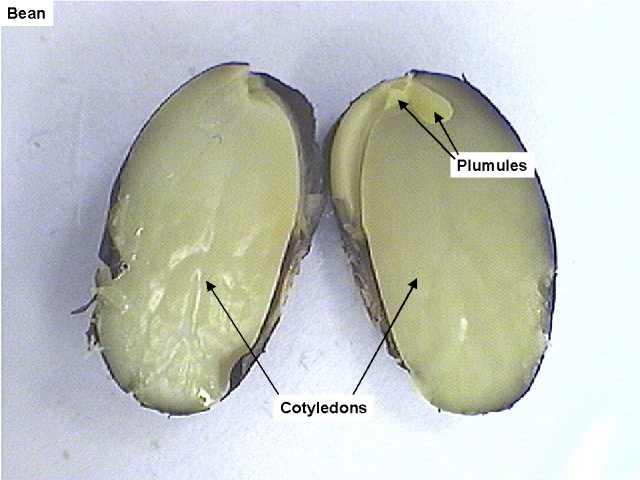 Bean cut in half. The Plumules are along the outer edge of the bean. The cotyledons are in the center.