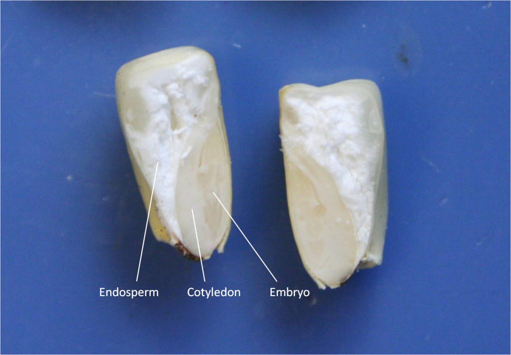 Corn seed showing embryo, cotyledon, and endosperm