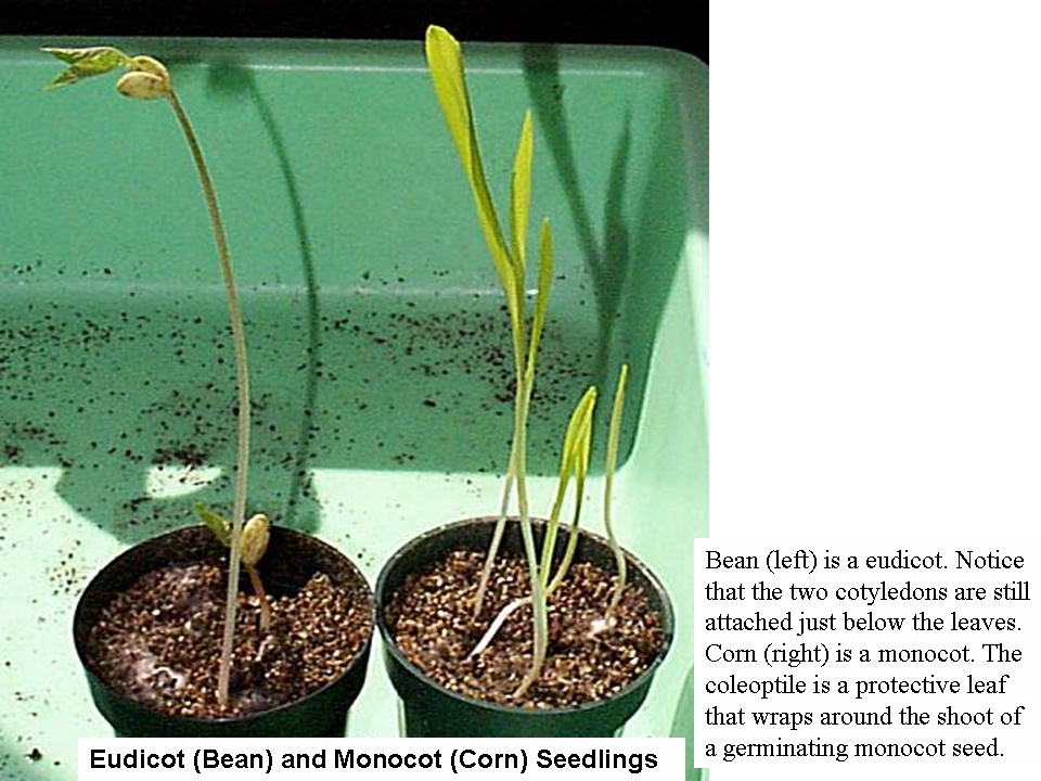 Eudicot (bean) and monocot (corn) seedlings. Bean (left) is a eudicot. Notice that the two cotyledons are still attached just below the leaves. Corn (right) is a monocot. The coleoptile is a protective leaf that wraps around the shoot of a germinating monocot seed.