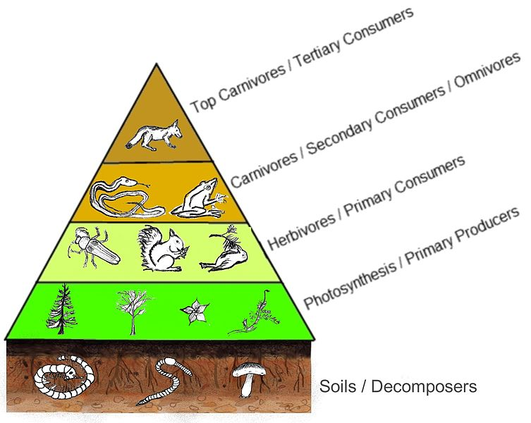 Pyramid of trophic levels. The base of the pyramid is composed of soils and decomposers. Immediately above are the primary producers: organisms that use photosynthesis. Above these are the herbivores, or primary consumers. Above these are carnivores and omnivores that are secondary consumers. At the top are top carnivores or tertiary consumers. The pyramid shape of the levels shows that the number of organisms in groups gets smaller as the group gets higher on the pyramid.