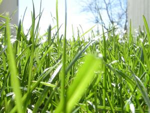 Photo of grass, taken at ground level
