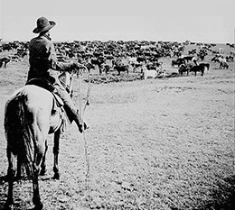 A photograph shows a cattle drive, with a single mounted cowboy in the forefront and a large herd of cattle grazing before him.