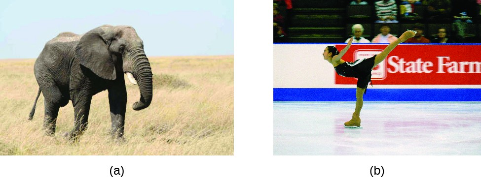 This figure includes two photographs. Figure a is a photo of a large gray elephant on grassy, beige terrain. Figure b is a photo of a figure skater with her right skate on the ice, upper torso lowered, arms extended upward behind her chest, and left leg extended upward behind her.