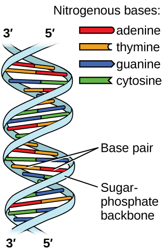 Pictures Of Dna Double Helix Diagram Labeled Kidskunstfo
