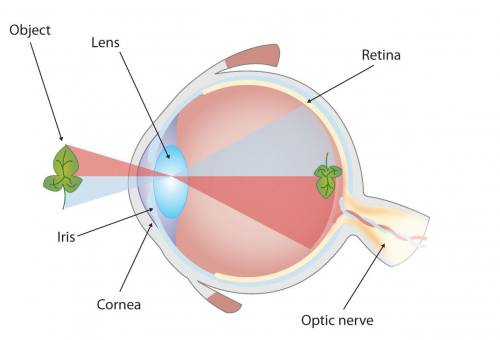 Graphic showing the parts of the human eye (retina, optic nerve, cornea, lens, and iris) and generally how the eye registers an image.