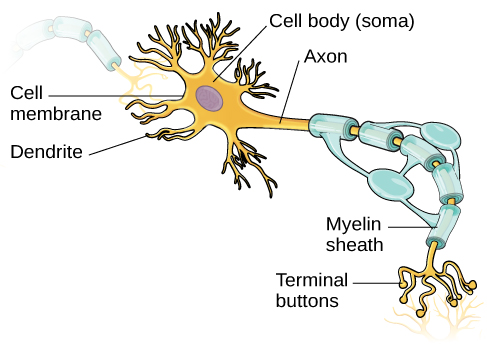 Neurons introduction to psychology an illustration shows a neuron with labeled parts for the cell membrane dendrite cell ccuart