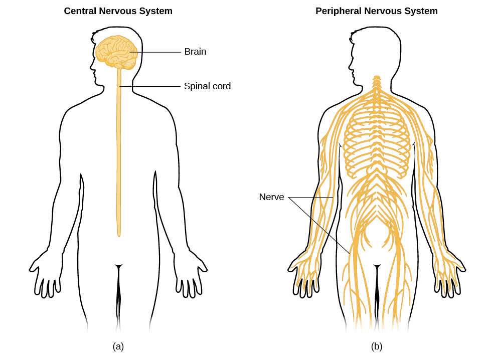 The Nervous System And Endocrine System Introduction To Psychology