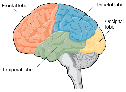 Half brain diagram no labels application wiring diagram half brain diagram no labels images gallery ccuart