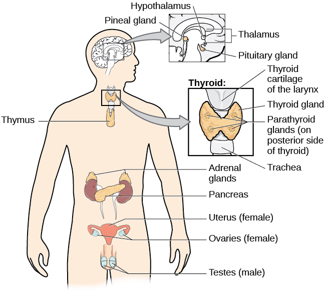 The endocrine system introduction to psychology a diagram of the human body illustrates the locations of the thymus several parts within the major glands of the endocrine ccuart Gallery