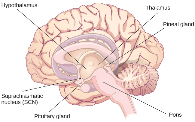 An illustration of a brain shows the locations of the hypothalamus, thalamus, pons, suprachiasmatic nucleus, pituitary gland, and pineal gland.