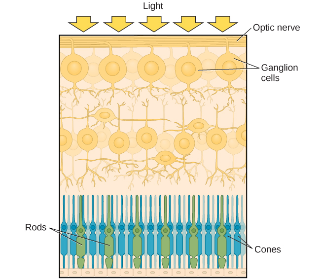 This illustration shows light reaching the optic nerve, beneath which are Ganglion cells, and then rods and cones.