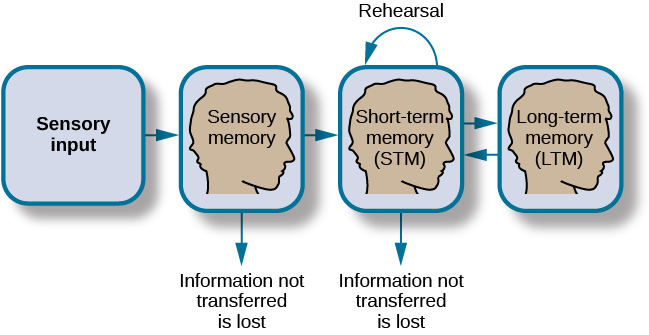 "Atkinson-Shiffrin model of memory. Sensory input flows to Stage 1 ""Sensory Memory"". Information not transferred is lost. Sensory memory flows to Stage 2 ""Short-term memory (STM)"" where rehearsal takes place. Information not transferred is lost. Short-term memory flows to Stage 3 ""Long-term memory (LTM) which also flows back to Stage 2 ""Short-term memory""."