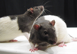 A photograph shows two rats.