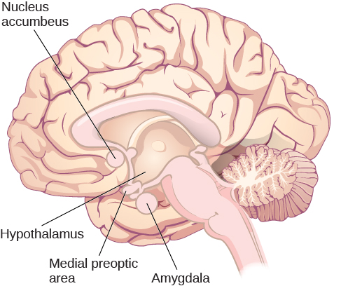 "An illustration of the brain labels the locations of the ""nucleus accumbeus,"" ""hypothalamus,"" ""medial preoptic area,"" and ""amygdala."""