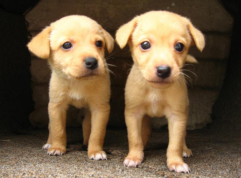 Two golden retriever puppies.