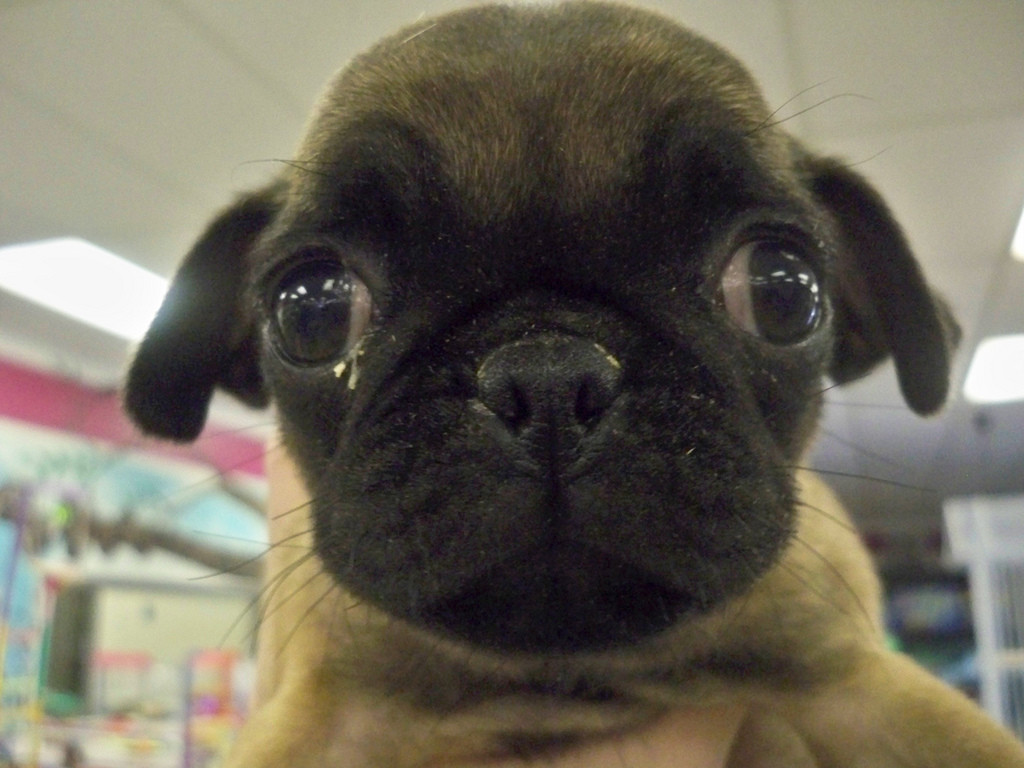 Sad-looking puppy with goopy eyes and droopy ears.