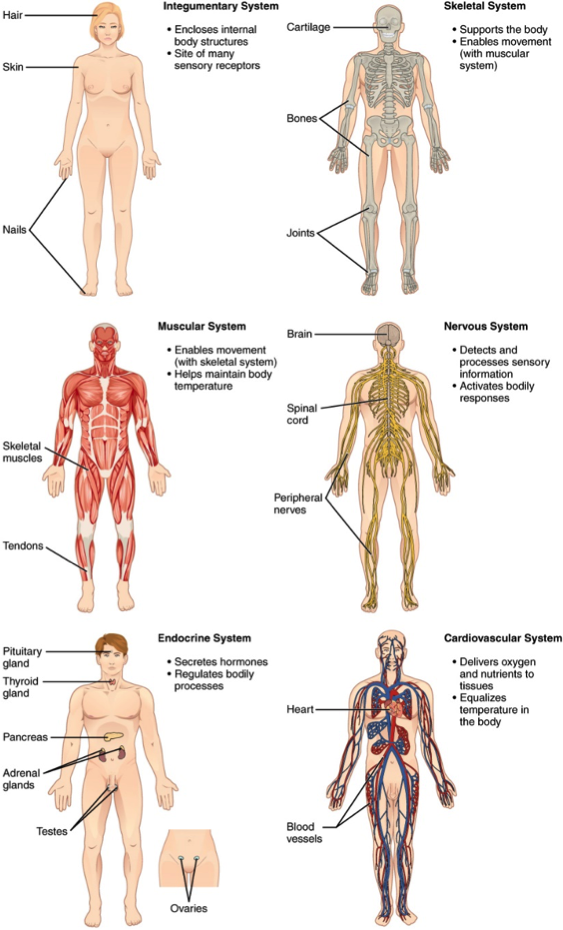 Six different human figures showing the integumentary, skeletal, muscular, nervous, endocrine, and cardiovascular systems.