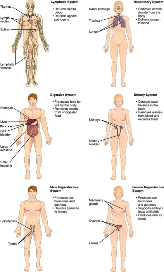 Six different human forms showing the lymphatic, respiratory, digestive, urinary, and reproductives (male and female) systems.
