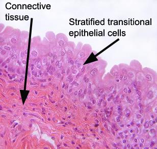 urinary_bladder_epithelia