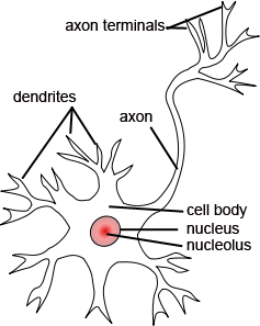 Identifying Neurons Within Nervous Tissue | Human Anatomy and ...