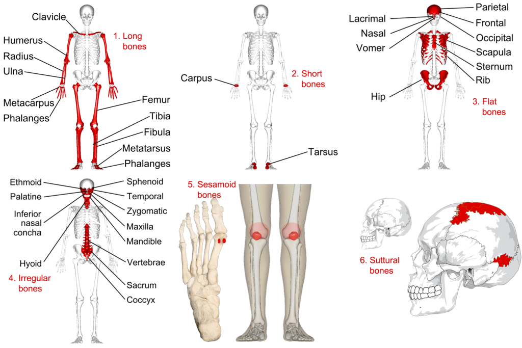 Categorizing Bones By Shape Human Anatomy And Physiology Lab Bsb 141