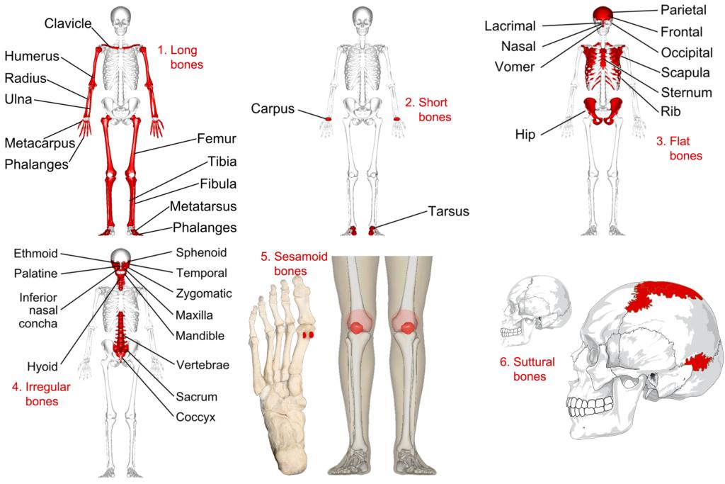 6_bone_categories