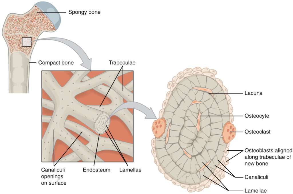 Compact Bone, Spongy Bone, and Other Bone Components | Human Anatomy ...