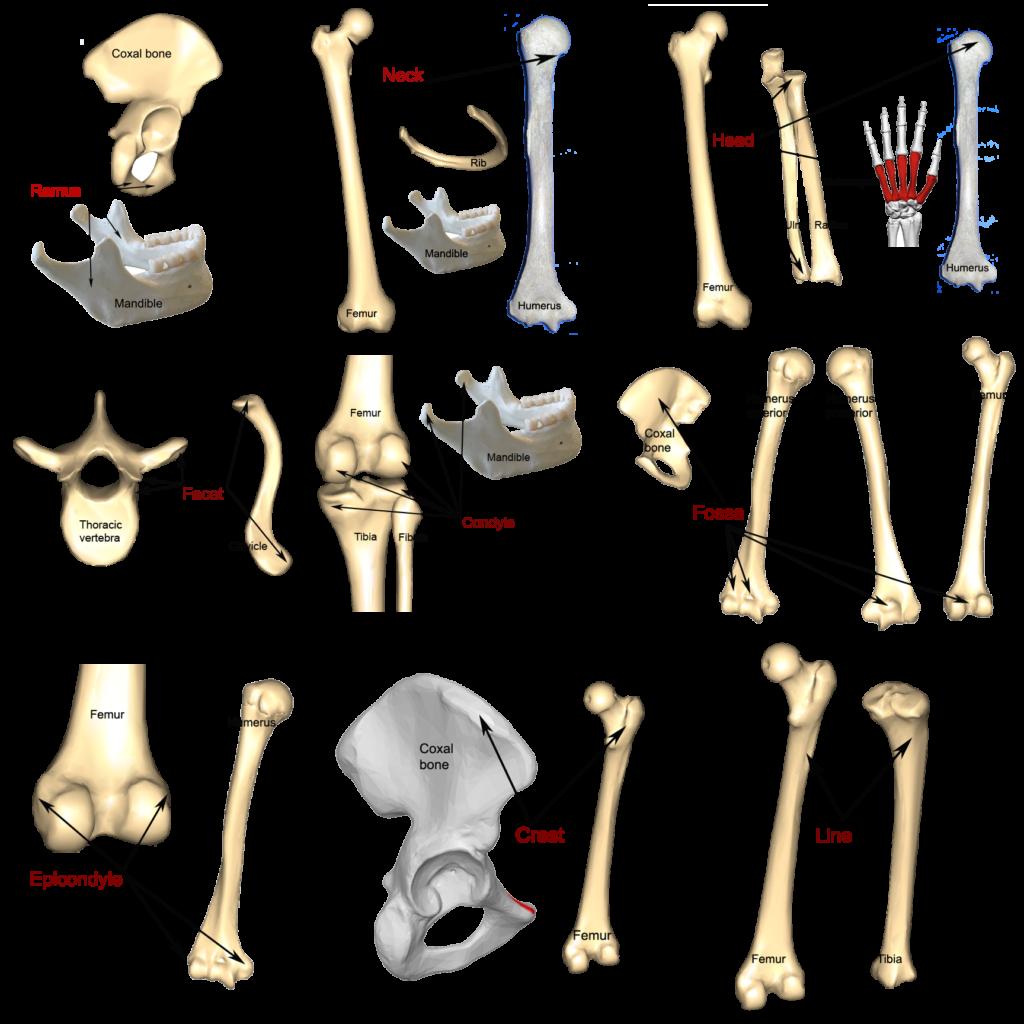 Bone markings anatomy