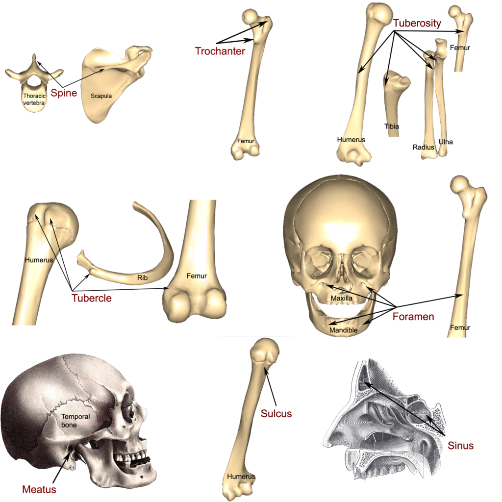 Bone Markings Processes And Cavities Human Anatomy And