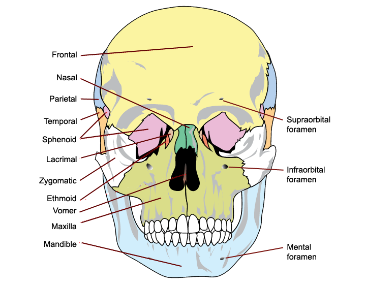 the bones of the skull, anterior view