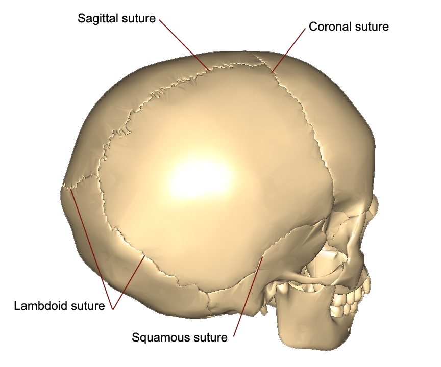 Image result for skull sutures