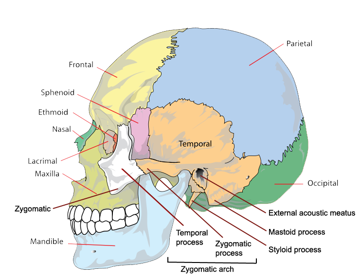 the bones of the skull | human anatomy and physiology lab ... bone diagram of skull diagram of inside of skull
