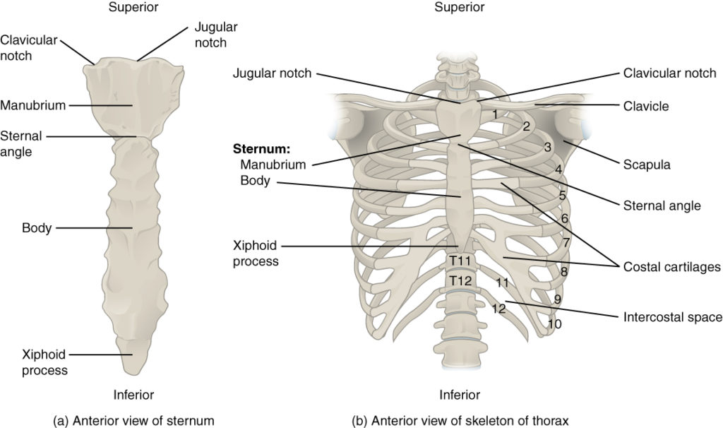 The Thoracic Cage The Ribs And Sternum Human Anatomy And
