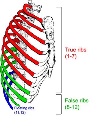 The thoracic cage     the ribs and sternum   Human Anatomy