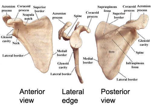 The Pectoral Girdles Human Anatomy And Physiology Lab Bsb 141
