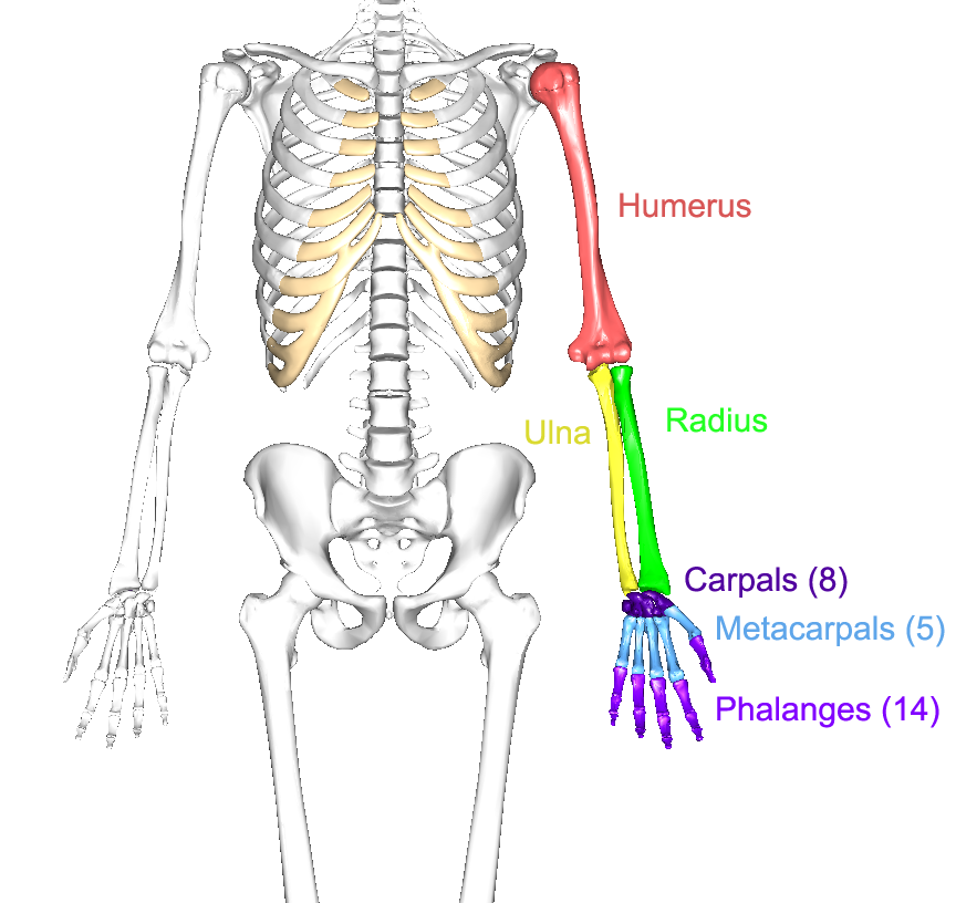 The Upper Limbs Human Anatomy And Physiology Lab Bsb 141