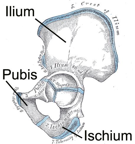 The pelvic girdle | Human Anatomy and Physiology Lab (BSB 141)