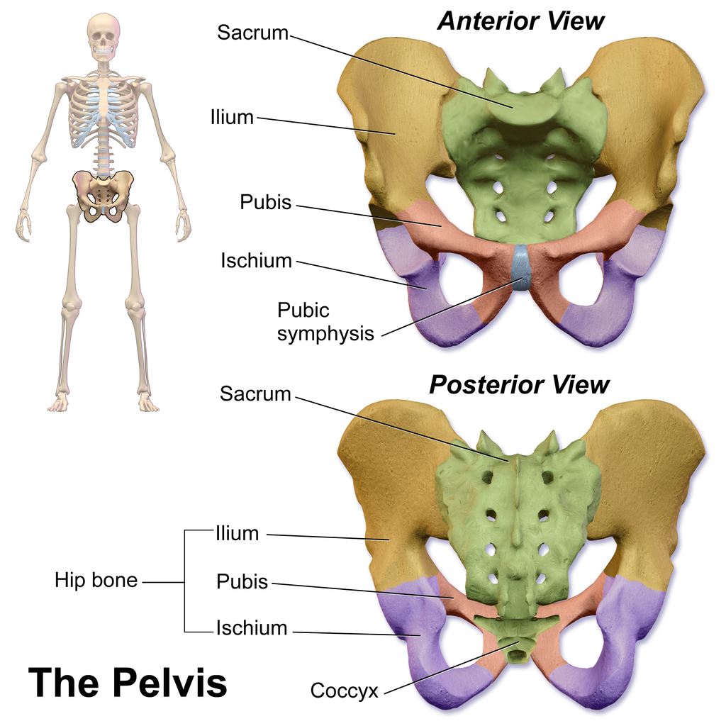 The Pelvis Human Anatomy And Physiology Lab Bsb 141