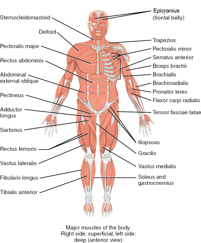 the major muscles of the body, anterior view  anatomical right shows  superficial muscles  anatomical left shows deep muscles