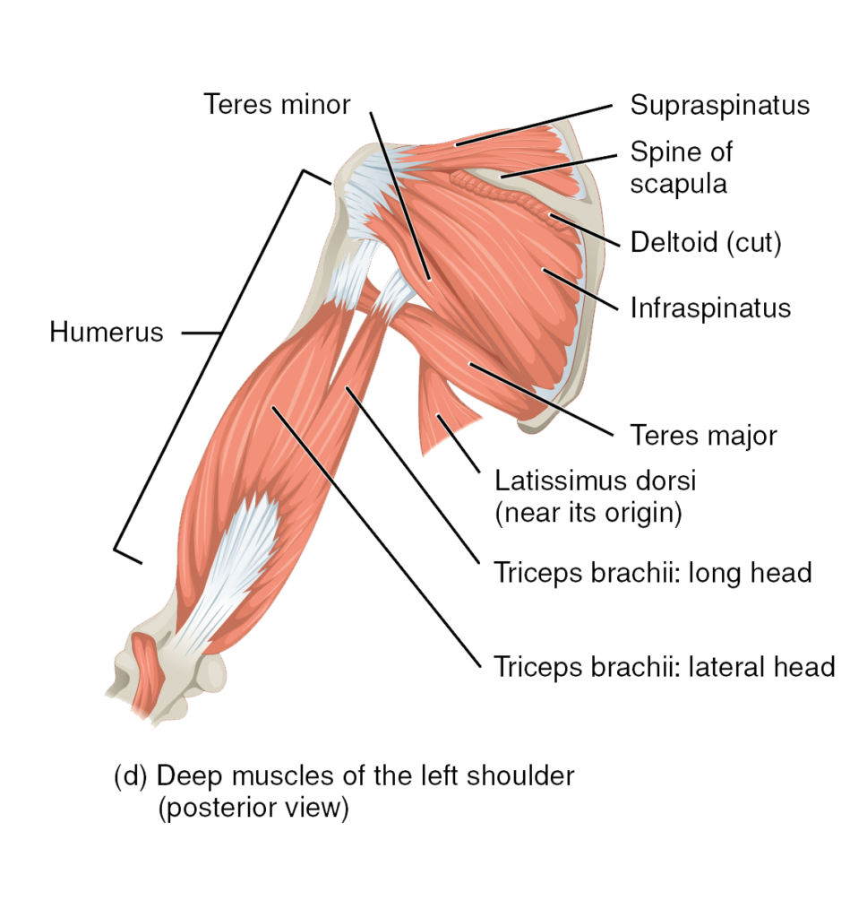 Muscles Of The Rotator Cuff Human Anatomy And Physiology Lab Bsb 141