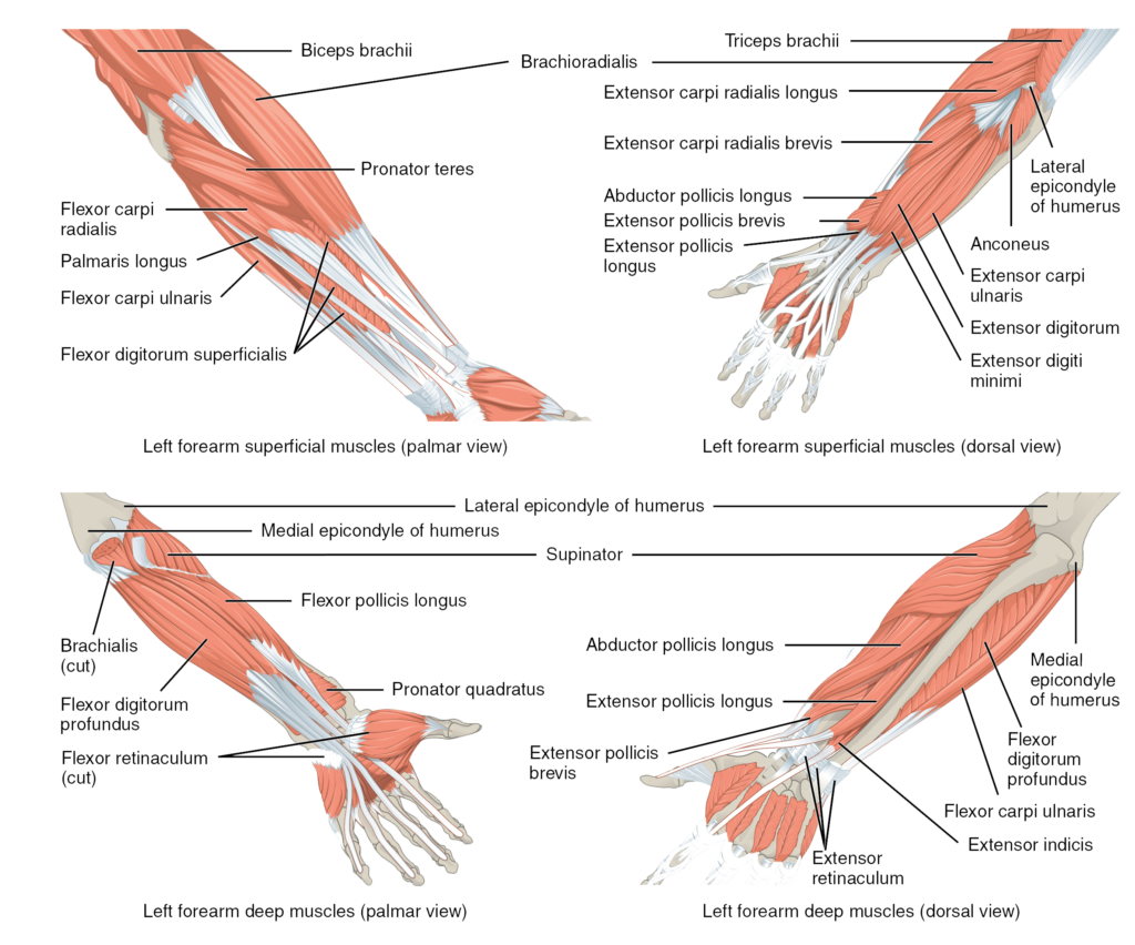 Muscles of the lower arm and hand | Human Anatomy and Physiology Lab ...