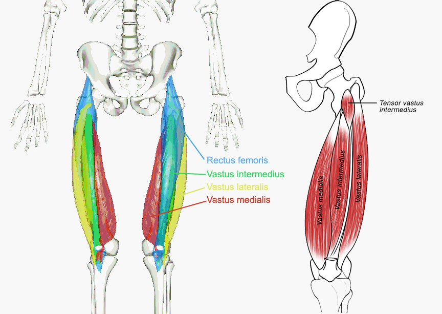 Muscles of the hips and thighs | Human Anatomy and Physiology Lab ...