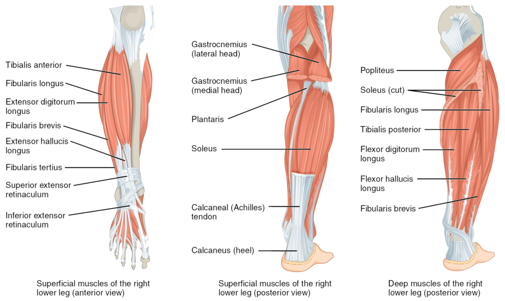 Anatomy lower leg muscles