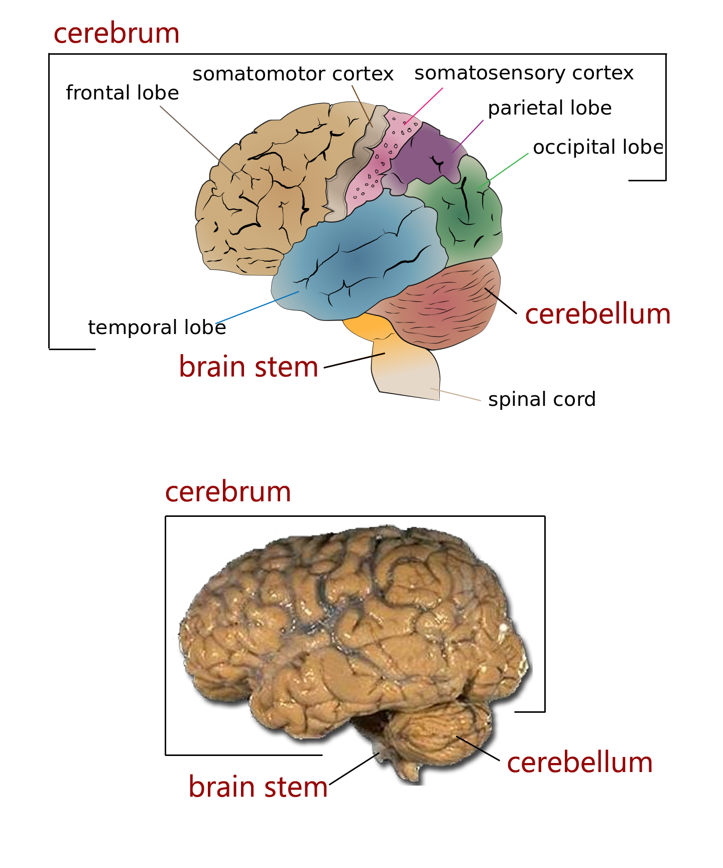 the major regions of the brain