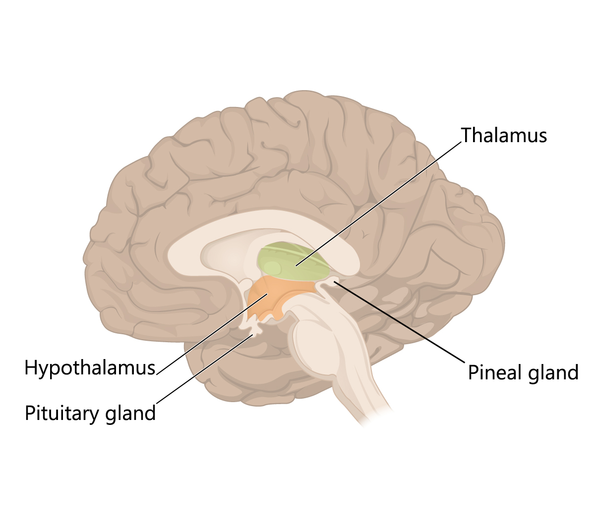 The structures within the diencephalon