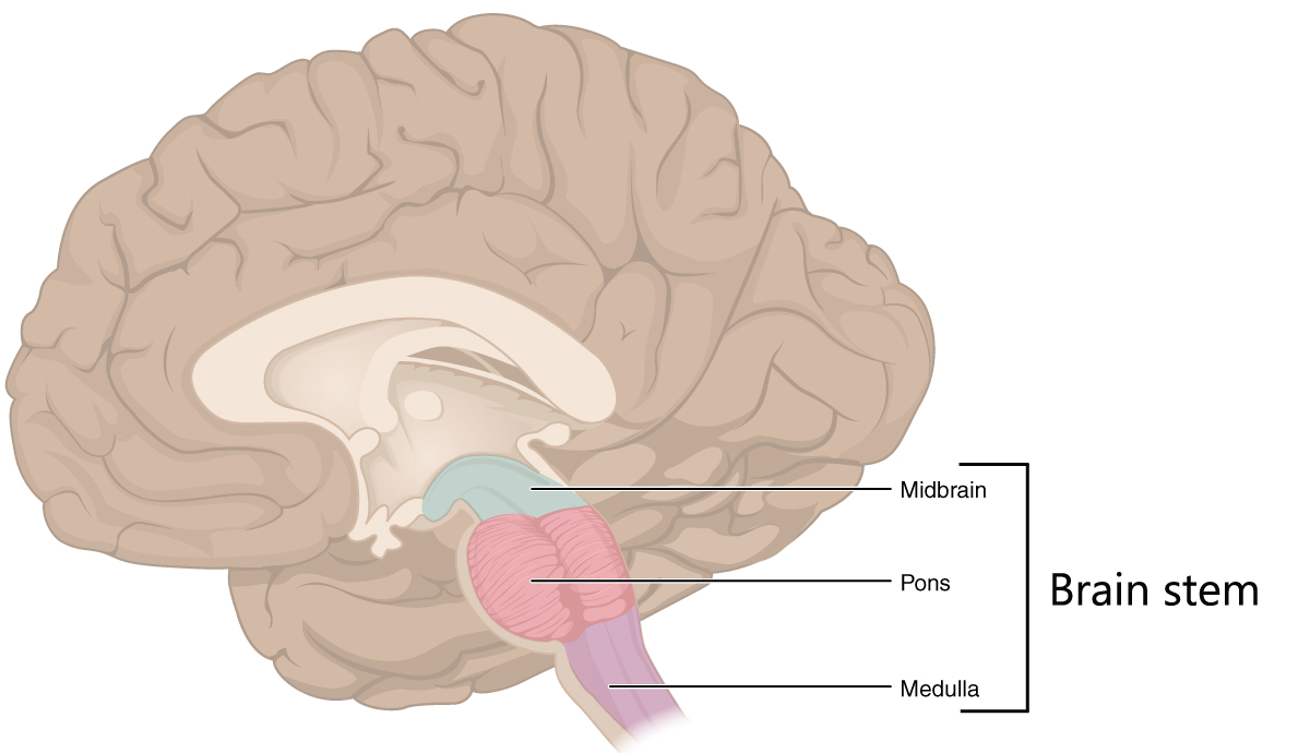 The parts of the brain stem.